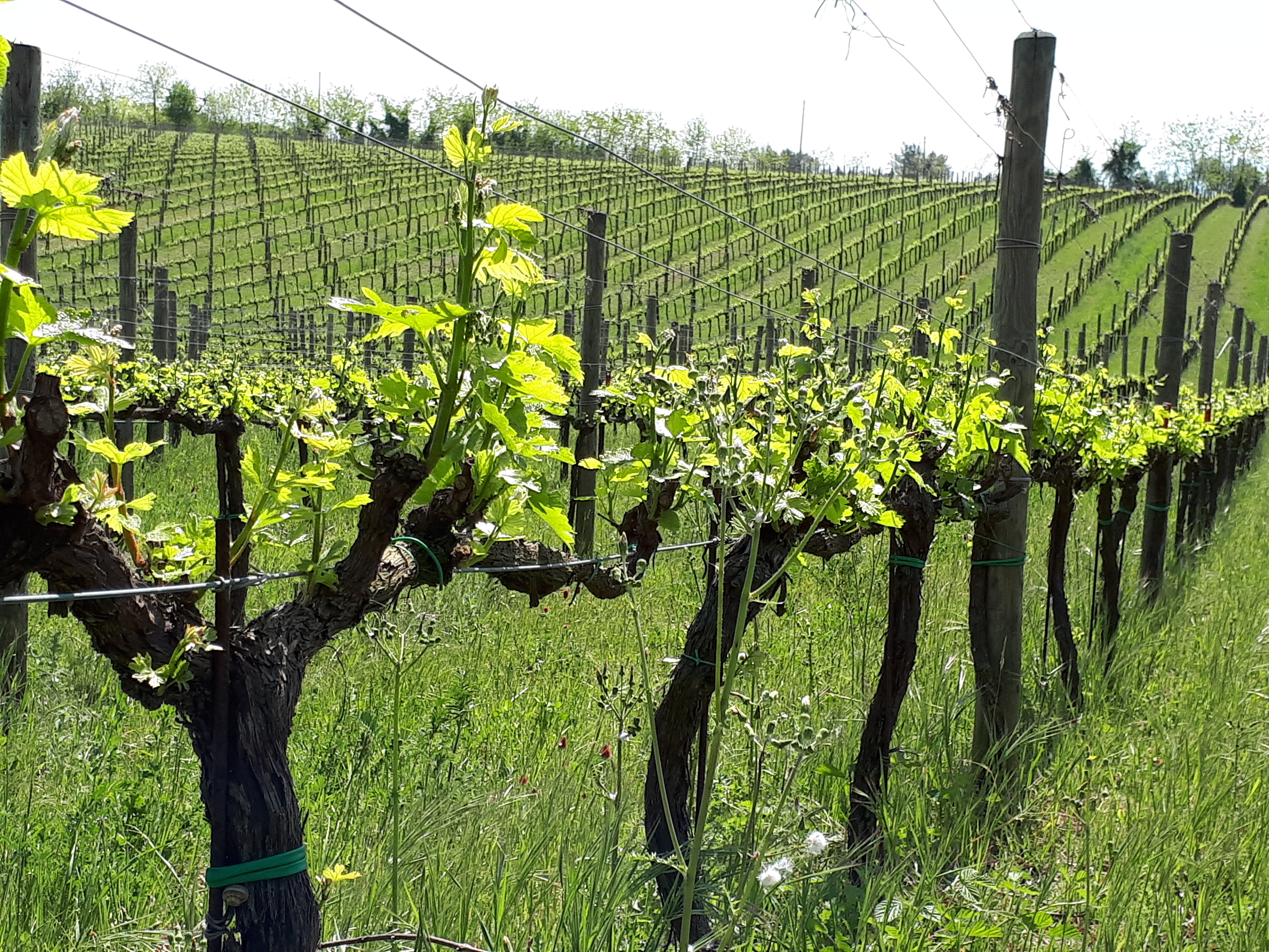 De Fermo: vigne