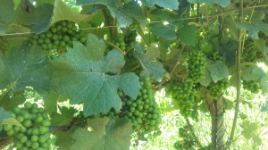 Grappoli di Pinot Meunier